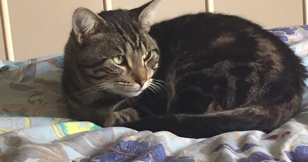 Milo Is A 2 Year Old Male Tabby With Medium Soft Fur Last Seen