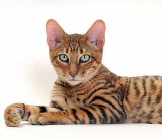 Cat Breed Information Ultimate Resource Toyger Cat Cat Breeds Beautiful Cats