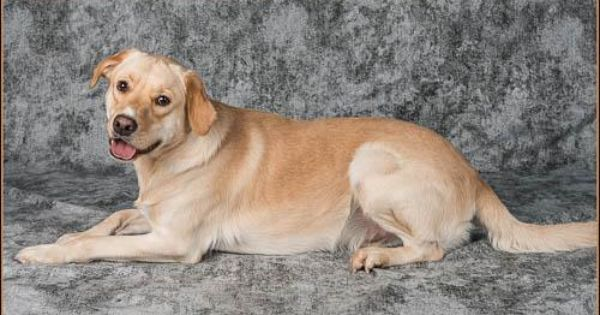Adopt Bentley On Labrador Retriever Mix Labrador Retriever Animal Welfare League