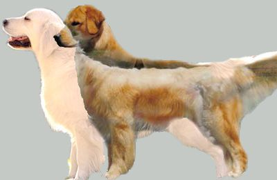 Differences Between The American Golden And The English European Golden Golden Retriever White Dogs Golden Retriever English Golden Retrievers