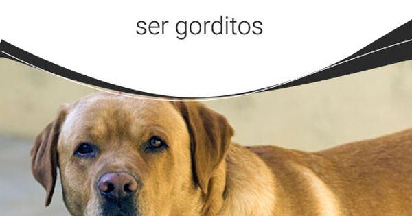 Los Perros Con Dueños Obesos Suelen Ser Gorditos En Ocasiones Hemos Escuchado Que Las Mascotas Terminan Pareciéndose A Perros Perros Obesos Champú Para Perros