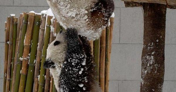 teamwork goes a long way adorable cute baby animal photography panda