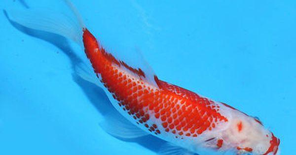 Rare kanoko pattern sarasa comet goldfish 2 goldfish for for Unusual pond fish