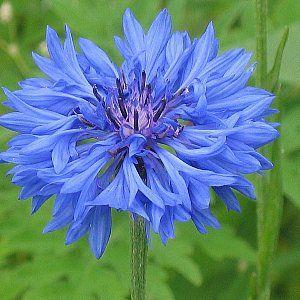 Cornflower Blue Seeds Cornflower Flowers Blue Plants