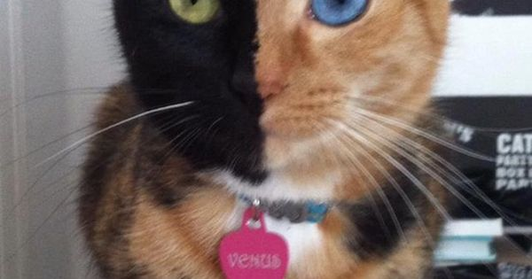 This is Venus, a chimera cat, who is it's own fraternal twin.