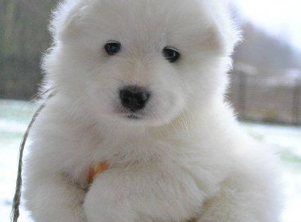 Adorably Chubby Puppies That Look Just Like Teddy Bears. Samoyed Puppy