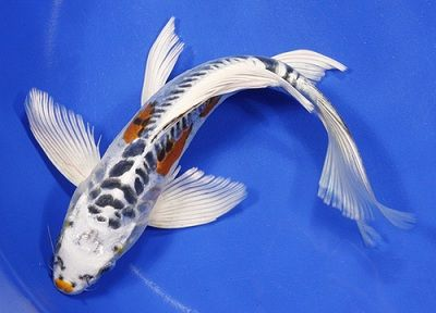 I used to have a large one before ike like this would for Large butterfly koi for sale