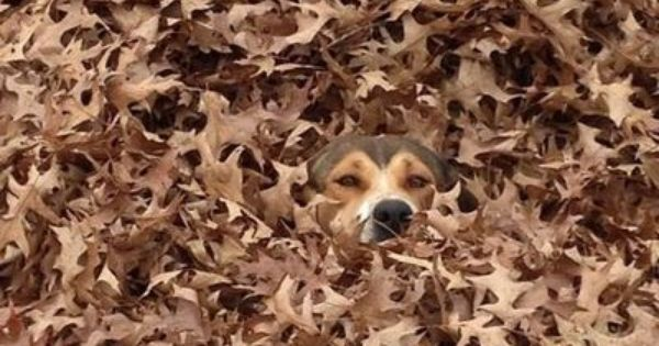 Teach My Son To Jump In A Pile Of Leaves Beagle Flage Dogs Animals Dog Owners