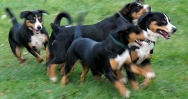 Beim Spiel Furs Leben Entlebucher Sennenhund Entlebucher Hunde