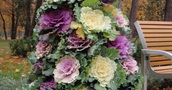 #Autumn Garden... Flower tower using flowering cabbages. Plant cabbage flowering kale in