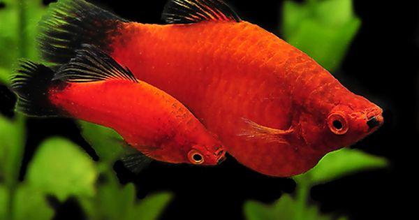 Aquarium Fish Tropical Fish And Goldfish For Sale Online Aquarium Fish Tropical Fish Tropical Fish Aquarium