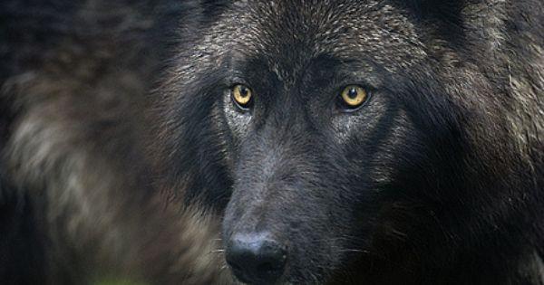 black wolf // stalking Lobo ☺♥