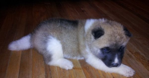 Akita Puppies Akita Puppies Puppies Akita Puppies For Sale