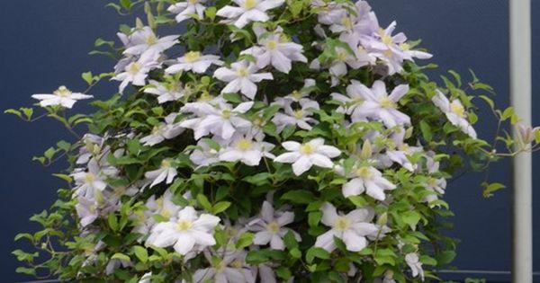 Clematis For Hanging Basket Garden Glory Pinterest