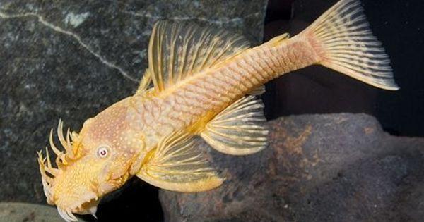 Ancistrus Sp Albino In 2020 Tropical Freshwater Fish Aquarium Fish Beautiful Fish