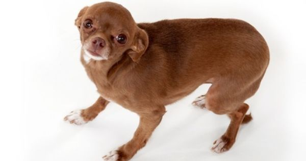 Nervous Chihuahua Dog Body Language Animal Behavior Dogs