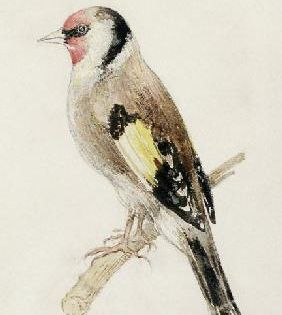 William Turner Goldfinch From The Farnley Book Of Birds C 1816