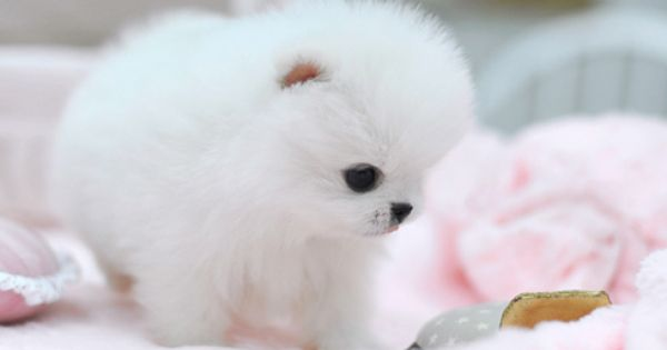 teacup pomeranian puppy life on all different levels
