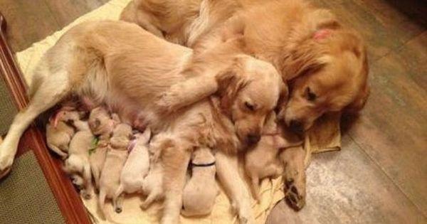 A safe haven! dogs pets GoldenRetrievers puppies Facebook.com/sodoggonefunny