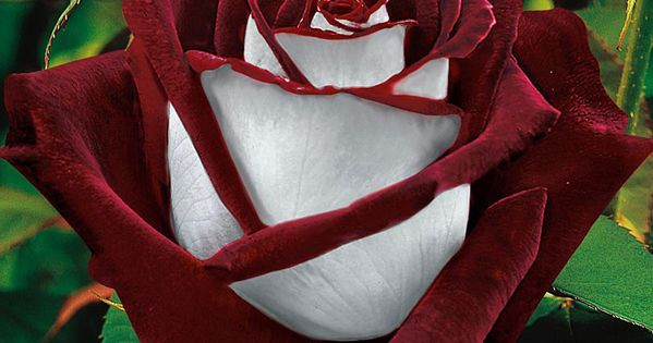 Osiria rose. Petals are blood red inside and silver white outside. -