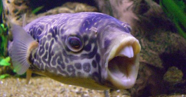 Unusual lavender fish species haha he looks funny for Cute freshwater fish