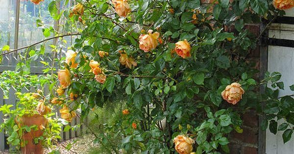 39 lady of shalott 39 climbing rose roses pinterest rose. Black Bedroom Furniture Sets. Home Design Ideas