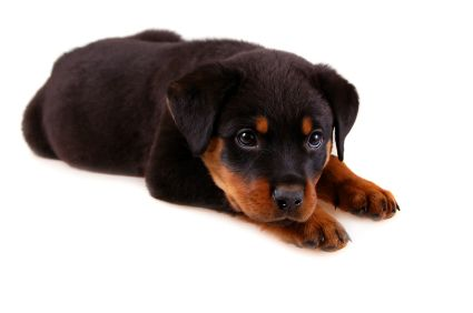 Rottweiler Training Your Guide To Raising This Loyal Breed