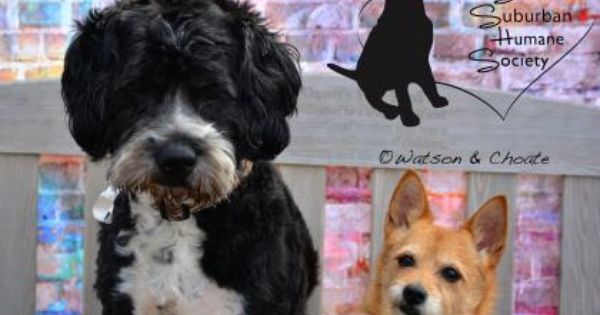Meet Frazzle A Petfinder Adoptable Portuguese Water Dog Dog Chicago Heights Il Petfinder Com Is The World Rsquo S Larg Pets Portuguese Water Dog Pet Care