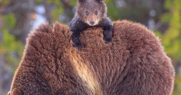 baby bear on a big bear