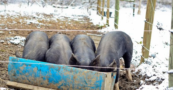 On just a couple acres your questions pigs in the for Small scale homesteading