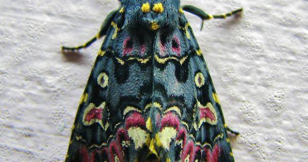 lily moth (polytela gloriosae), spotted by yogesh save in maharashtra, india
