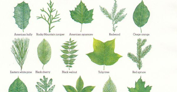 hardwood tree identification by leaf google search. Black Bedroom Furniture Sets. Home Design Ideas