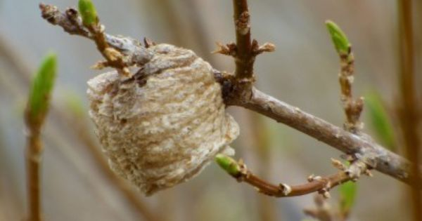 What Do Praying Mantis Egg Sacs Look Like And When Do Mantis Egg Sacs Hatch Garden Pests Praying Mantis Insect Eggs