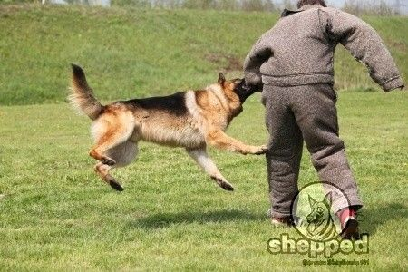 When Your German Shepherd Puppy Is Biting And Nipping Try This