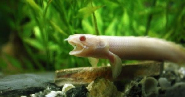 New Albino Bichir Feeding Polypterus Senegalus Albino Freshwater Fish Fish Pet