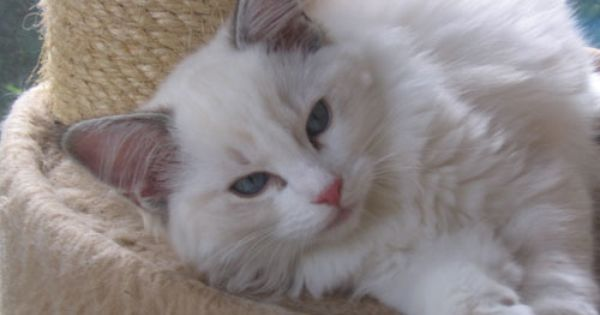 Ragdoll Cats Texas From Ragdoll Breeder Feet S Of Faith Cattery