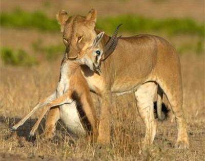 predator and prey relationship of a lion