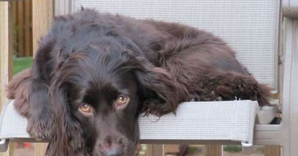 The 25 Longest Living Dog Breeds Boykin Spaniel Dog Breeds Spaniel