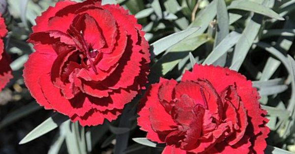 Radiance Dianthus Dianthus Radiance 10 Cm Tall Spacing 25 Cm This Variety Has Double Rich Crimson Blossoms And Dense Blue Foliage Plants Flowers Bloom