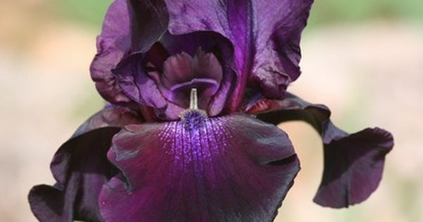 Superstition 86 Cms Mid Schreiner 77 Deep Purple With Black Undertones Paler Flush On Falls And Mauve Beards Iris Garden Iris For Sale Amazing Flowers