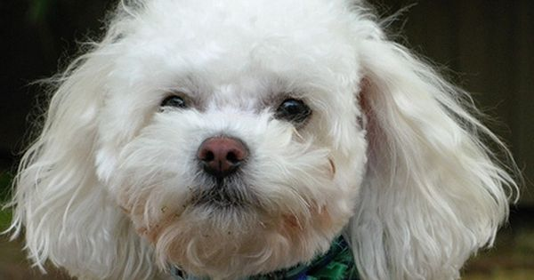 What Should You Expect From A Bichon Frise Poodle Mix Bichon Frise Poodle Mix Bichon