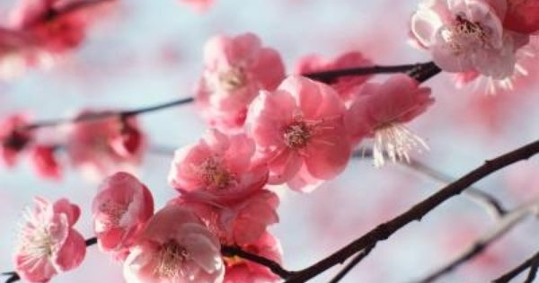 How And When To Prune A Cherry Tree Hunker Weeping Cherry Tree Weeping Trees Flowering Cherry Tree