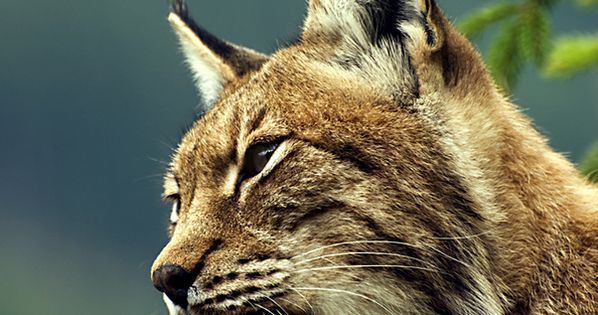 Lynx - Lynne once had the incredible experience of having one of
