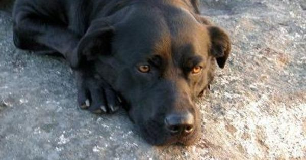 Black Lab Rottweiler Mix This Is Taylor My 2 Year Old Black Lab