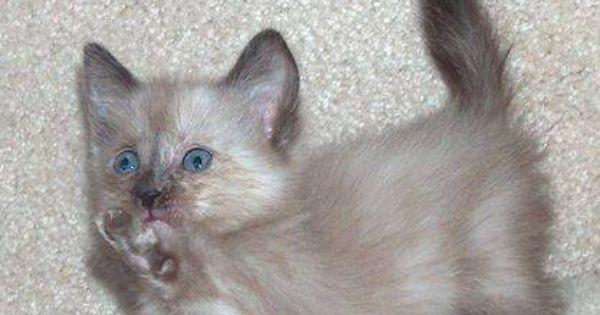 Beautiful Munchkin Kittens Munchkin Kitten Siberian Husky Puppies Kittens