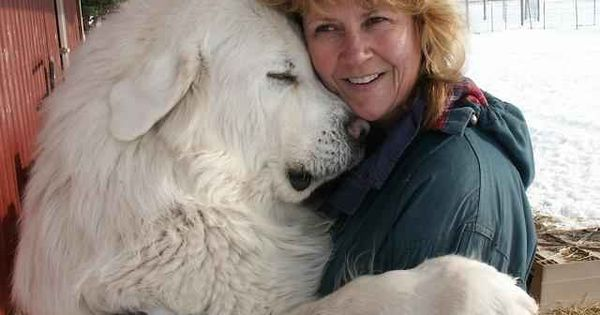 I love Great Pyrenees .. A Huge dog, but they are so