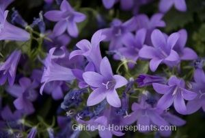 Campanula Flowers Italian Bellflowers Star Of Bethlehem Campanula Flowers Indoor Flowering Plants Flowers Perennials