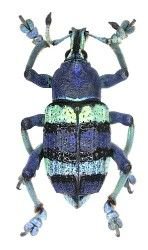 Curculionidae Australische Region Wonderful Site For Images Of Beetles Http Www Kaefer Der Welt De Familienliste Htm Tier Fotos Insekten Kleine Tiere