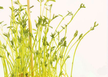Spring Sprouts: lentil sprout diy decor