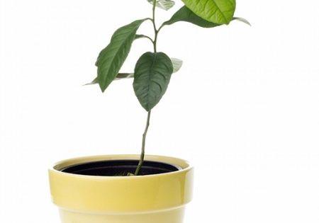 einen zitronenbaum selber ziehen zeitvertreib f r kleine und gro e hobbyg rtner gartenwissen. Black Bedroom Furniture Sets. Home Design Ideas